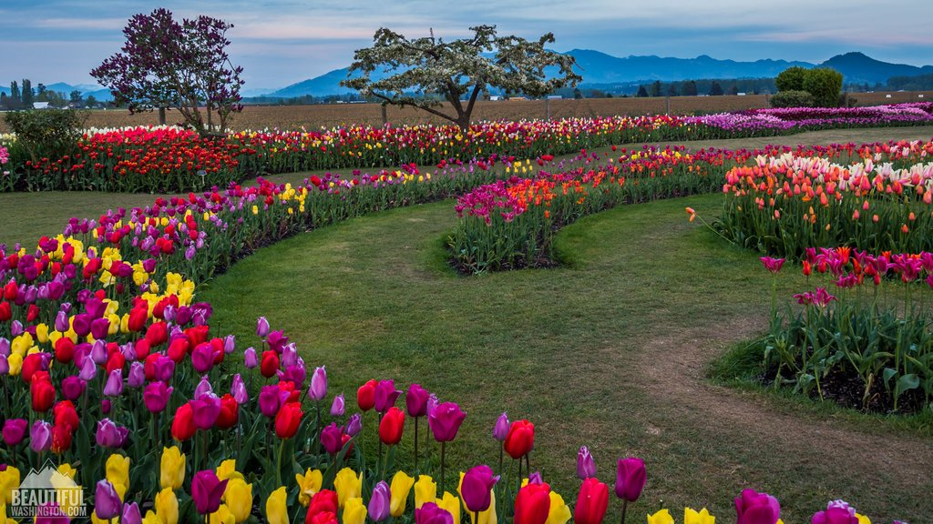 Image of: Skagit Valley Tulip Festival 28 Image Tulip Field Skagit Valley Largest Floral Cozy, Relaxed and Chic Bedding Sets
